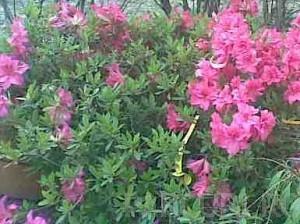 poza Arbusti cu flori si frunze persistente AZALEA JAPONICA ghiveci de 15 litri, planta cu diam de 60cm