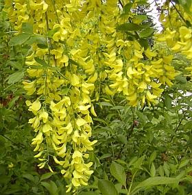 poza Arbori foiosi LABURNUM x WATERERI VOSSI /Salcam galben parfumat h=250