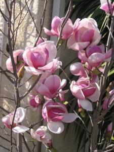 Poza Arbusti gradina frunze cazatoare Magnolia soulangeana