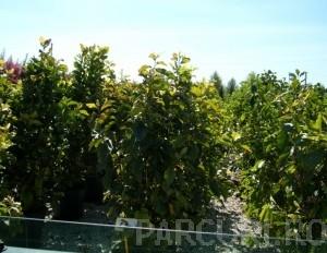 Poza Magnolia liliflora Nigra