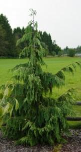 Poza Arbori rasinosi CHAMAECYPARIA NOOTKATENSIS PENDULA