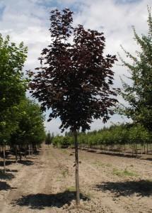 poza Arbori foiosi ACER PLATANOIDES CRIMSON KING 10/12circumf. trunchi (90 litri)