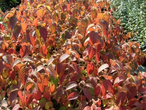 poza Arbust decorativ prin flori/frunze VIBURNUM PLICATUM ghiveci 5-7 litri, h=100cm