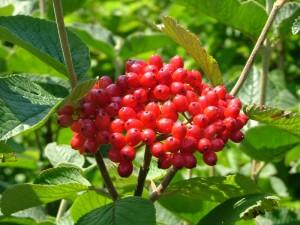 poza Arbust decorativ prin flori/frunze VIBURNUM LANTANA ghiveci 5-7 litri, h=100cm