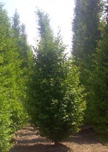 poza Arbori foiosi Carpinus betulus Albert Beekman, h - 300-350 cm