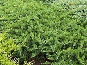 Poza Arbusti rasinosi Juniperus sabina Tamariscifolia