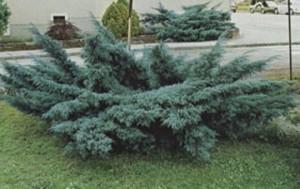 Poza Arbusti rasinosi Juniperus x media 'Pfitzeriana Glauca'