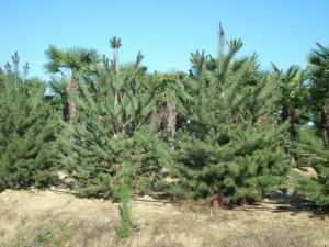 Poza  Pinus nigra austriaca