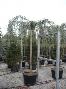 poza Arbori rasinosi CEDRU ATLANTICA GLAUCA PENDULA 300-350