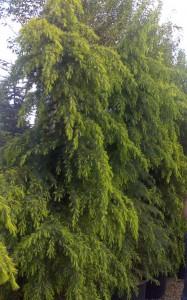 poza Arbori rasinosi CEDRU DEODORA PENDULA  H=250-300