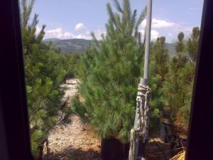 poza Arbori rasinosi PINUS WALLICHIANA h=250-300