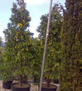 poza Arbori rasinosi CALOCEDRUS DECURRENS AUREOVARIEGATA  h=150/175 cm
