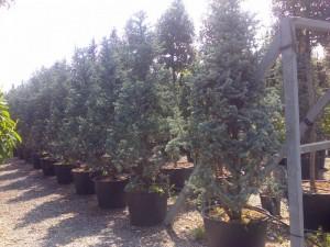 poza Arbori rasinosi CEDRUS ATLANTICA GLAUCA Fastigiata  h=200-250