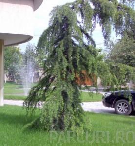 poza Arbori rasinosi CEDRU DEODORA PENDULA ghiveci 50 litri, h=175-200