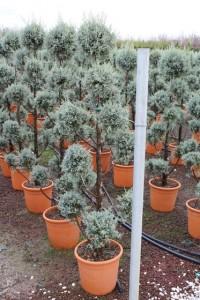poza Arbusti forme tunse PAMPON / CUPRESSUS ARIZONICA ghiveci 30 litri, h=140-160cm