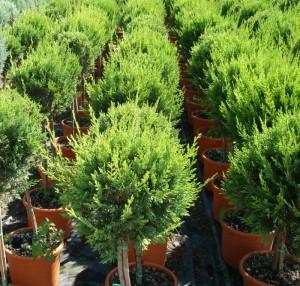 poza Arbusti forme altoite BILA PE TULPINA / CUPRESSOCYPARIS LEYLANDII 1/2 , ghiveci 10 litri, diam=30cm