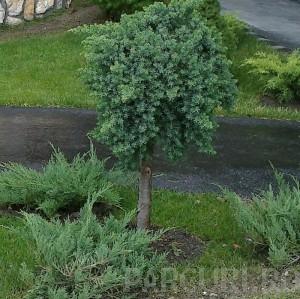 poza Arbusti rasinosi forma altoita JUNIPERUS CONFERTA BLUE PACIFIC ghiveci 20 litri , diam=50cm