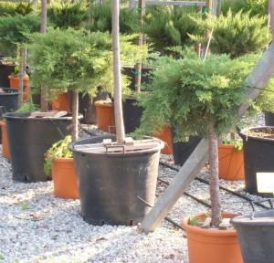poza Arbusti rasinosi forma altoita JUNIPERUS SAB. TAMARISCIFOLIAghiveci 20 litri , diam=50cm