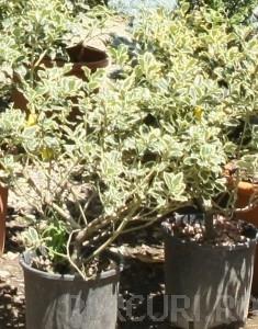 poza Arbust frunze persistente ILEX AQUIFOLIUM ARGENTEOMARGINATA ghiveci 3-5 litri, h=30-40cm