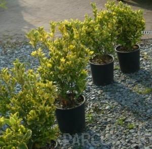 poza Arbust frunze persistente EUONYMUS JAPONICUS ELEGANTISSIMUS AUREUS ghiveci 5 litri, h=40 cm