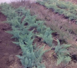 poza Arbusti rasinosi JUNIPERUSxMEDIA  Pfitzeriana Glauca ghiveci 3-4 litri, 30-40 cm
