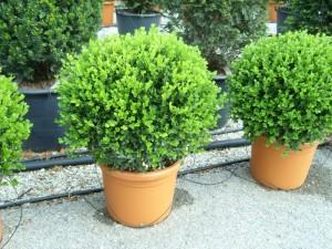 poza Arbusti evergreen BUXUS MICROPHYLA FAULKNER(forma glob) ghiveci 18 litri, diam planta = 40 cm