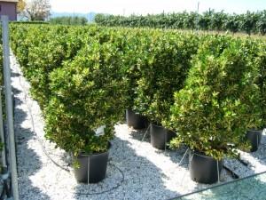 poza Arbust frunze persistente EUONYMUS JAPONICUS AUREOPICTUS ghiveci 30 litri, h=80-100 cm