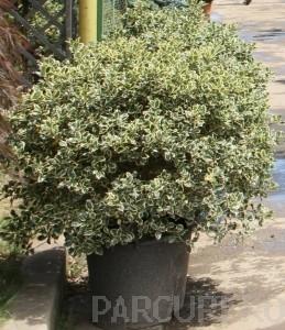 poza Arbust frunze persistente ILEX AQUIFOLIUM ARGENTEOMARGINATA BILA 80 cm diam