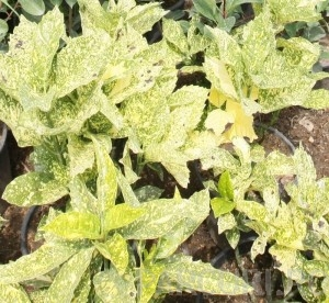 poza Arbust frunze persistente AUCUBA JAPONICA CROTONIFOLIA ghiveci 5-7 litri, h=40-50