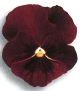 Poza Flori bienale: Viola witrokiana /Panselute