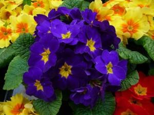 Poza Flori de gradina bienale Primula acaulis /Primule.