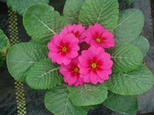 Poza Flori de gradina bienale Primula acaulis /Primule
