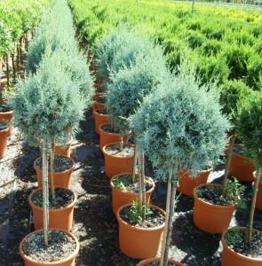 poza Arbusti rasinosi forme BILA PE TULPINA / CUPRESSUS ARIZONICA ghiveci 10 litri, diam = 30 cm