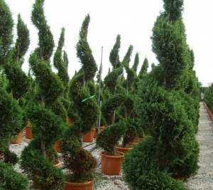 poza Arbusti rasinosi forme SPIRALA /CUPRESSOCYPARIS LEYLANDII ghiveci 35 litri, h=160-180cm