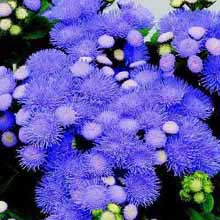 poza Flori de gradina anuale AGERATUM MEXICANUM/PUFULETI. Flori in ghivece de 9 cm