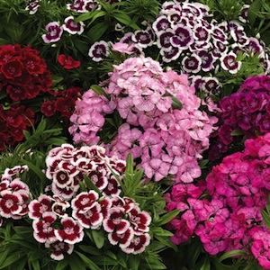 poza Flori de gradina anuale DIANTHUS CHINENSIS BARBATUS/ GAROFITA CHINEZEASCA Flori la ghiveci de 9 cm