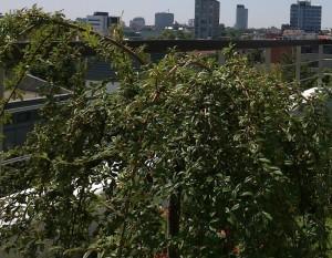 poza Arbusti cu bobite forma UMBRELA/ COTONEASTER SALICIFOLIUS REPENS 1/2 ghiveci 25 litri, lungime = 80-100cm