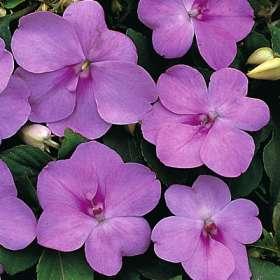 poza Flori de gradina anuale IMPATIENS WALERIANA LILA/ SPORUL CASEI Flori la ghivece de 10.5cm.