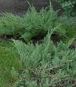 poza Arbusti rasinosi JUNIPERUS x MEDIA  'PFIZERIANA GLAUCA' ghiveci 7 litri, 40-60 cm