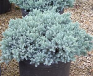 poza Arbusti rasinosi JUNIPERUS SQUAMATA BLUE STAR ghiveci 3 litri , 30-40 cm