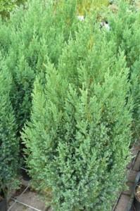 poza Arbusti rasinosi JUNIPERUS CHINENSIS STRICTA  ghiveci 3-4 litri, h=30