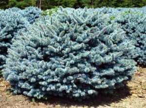 Poza Arbusti rasinosi Picea pungens glauca globosa