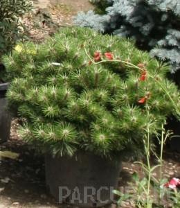 poza Arbusti rasinosi forme, PINUS NIGRA BREPO ghiveci 15 litri , diam = 40- 50 cm