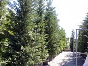 Poza  Cupressocyparis leylandii 4,5-5m