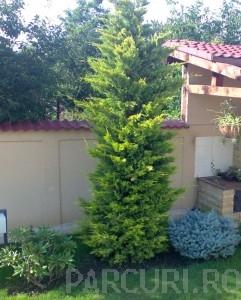 poza Arbori rasinosi CUPRESOCYPARIS LEYLANDII GOLD RIDER ghiveci 70-90 litri, h=300-350cm