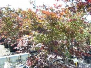 poza Artar japonez Acer palmatum Bloodgood, clt 110 , h=175-200 cm