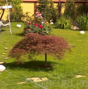 Poza Acer palmatum `Dissectum Atropurpureum