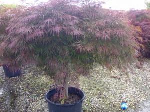 Poza  Acer palmatum `Dissectum Atropurpureum`