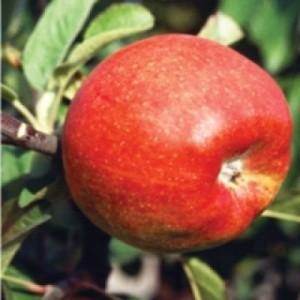 Poza  Pomi fructiferi de vanzare: mar soiul Generos.