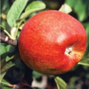 poza Meri soiul Generos la ghiveci. Pomi fructiferi puieti altoiti.